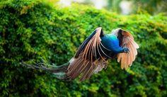 pavo real volando