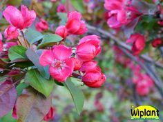 Malus 'Kirjailija', Prydnadsäppel. Blommorna mörkrosa, frukterna få och avlånga. Höjd: 2- m.