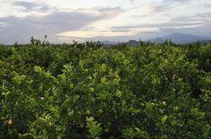 Anulan una multa de 3.000 euros impuesta por CHS por plantación de cítricos en una rambla