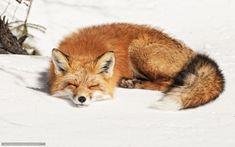 Download Hintergrund Fuchs,  Winter,  Schnee Freie desktop Tapeten in der Auflosung 1680x1050 — bild №481868