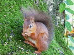 Red squirrel in Patterdale - spotted on a walk from our Patterdale Cottage in November 2013 Self Catering Cottages, Penrith, Fine Hotels, Red Squirrel, November 2013, Lake District, Squirrels, Great Britain, Perfect Place