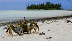 Cocos Keeling Island Crab