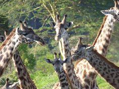 Giraffes, Arusha National Park, Tanzania