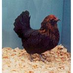 Getting this chicken for blue eggs