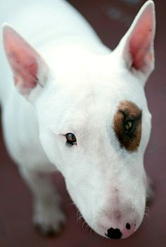 cute bull terrior | bull terrier on Tumblr