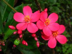 Jatropha integerrima – Peregrina, Spicy Jatropha - See more at: http://worldofsucculents.com/jatropha-integerrima-peregrina-spicy-jatropha