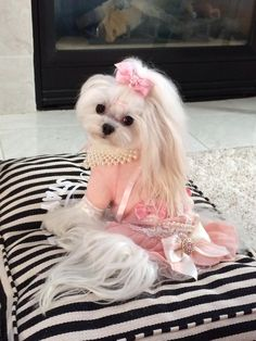 ♥ Female Shih tzu. <3