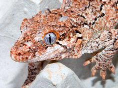 Let's Go Wild: Gargoyle Gecko, or New Caledonian bumpy gecko, Rhacodactylus auriculatus