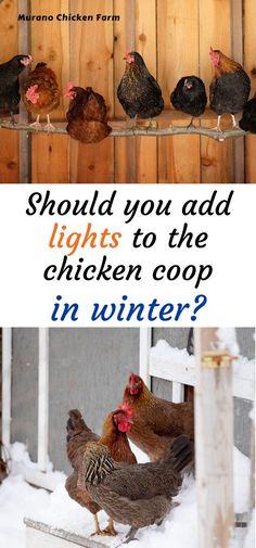 Is adding lights to the chicken coop a good idea? Will egg production really increase with just a single light bulb? I explain exactly why you should (or shouldn't) add lights to the chicken coop in winter, and how it works. Urban Chickens, Pet Chickens, Raising Chickens, Silkie Chickens, Keeping Chickens, Backyard Coop, Backyard Poultry, Chickens Backyard, Backyard Birds