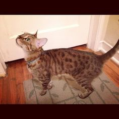 This sweet, small, fixed/vaccinated/front-declawed purebred female bengal cat is still available for inexpensive adoption in Miami :)