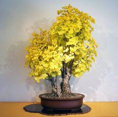 Heirloom Organic 5 Ginkgo biloba gingko Maidenhair Tree seeds nuts Bonsai Tree grown from seed T019, $1.49