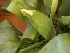 ¿Qué hacer con las hojas secas? ¿Es mejor dejar que se sequen y caigan por sí solas? ¡Descubre los mejores consejos para unas plantas de infarto!