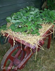 In depth advice about growing strawberries in containers or pots. How to keep plants healthy and produce a large crop. Perfect for small or urban gardens. Potted Strawberry Plants, Raspberry Plants, Strawberry Planters, Strawberry Garden, Growing Strawberries In Containers, Growing Tomatoes In Containers, Grow Strawberries, Growing Vegetables, Gardening Vegetables