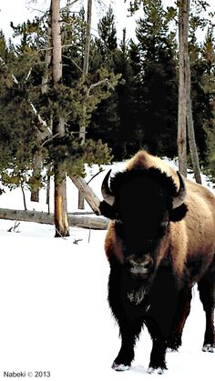 """(From the Buffalo Field Campaign) """"NEW FILM: Silencing the Thunder Independent film maker and Montana State University student, Eddie Roqueta, has just released an incredible 26-minute documentary ..."""