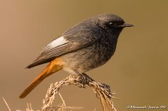 Phoenicurus ochruros #bird