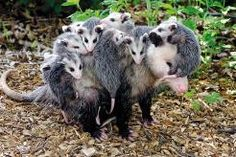 Despite their bad rap, opossums are actually awesome.