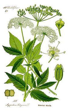 """Giersch. Gut bei Arthrose (ca. 1 Handvoll). in der Volksheilkunde war diese Pflanze aufgrund ihrer harnsäurelösenden, entwässernden und entzündungshemmenden Wirkung über Jahrhunderte hinweg das """"Allheilmittel"""" gegen Gicht und Rheuma. Ätherische Öle, reichlich Vitamin C und Mineralstoffe machen diese nach Petersilie riechende, 0,5 bis 1 m hohe Pflanze so wertvoll. Eine vielseitige Verwendungsmöglichkeit als Tee, Badezusatz, Pflanzenbrei für Umschläge od. als Würz- und Küchenkraut."""