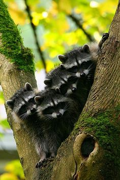racoons / raccoon babies in a forest tree / woodland creatures / animal / nature photography Cute Creatures, Beautiful Creatures, Animals Beautiful, Woodland Creatures, Nature Animals, Animals And Pets, Strange Animals, Cute Baby Animals, Funny Animals