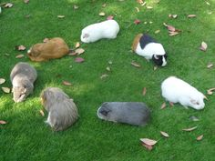 Rodent, rodent, rodent, rodent... GUNIEA PIG!!! The game of duck duck goose, guinea pig style!