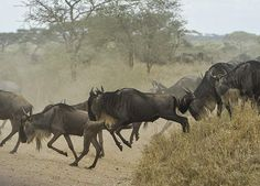 Ever wanted to view the annual migration of the Wildebeest? Then now is the time - explore this Tanzanian Safari. Enjoy a 7-night Tanzanian safari experience including Lake Manyara National Park, Ngorongoro Crater and Serengeti National Park. Day 1: Arusha Arrive at Kilimanjaro Airport where a friendly safari team will wait to take you to