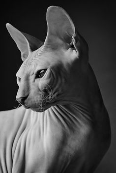 sphynx cat These special cats will bring you joy. Cats are amazing creatures. Chat Sphynx, Hairless Kitten, Beautiful Cats, Animals Beautiful, Pretty Cats, Spinx Cat, Animals And Pets, Cute Animals, Animal Gato