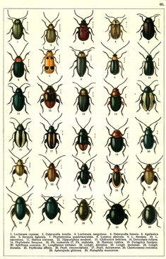 """G.G. Yakobson (1905-1915) - """"Beetles of Russia"""": table 60"""