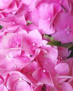 L O V E 💕🌸 #hortensia #hortenzia #hydrangea #thatcolor #hydrangeas #freshblooms #flowers #flowerpower #love #loveflowers #flowerlovers #flowerlove #colors #pink #photo #instaphoto #picoftheday #beautiful #nice #kvetiny #praha #prague #czech #nature