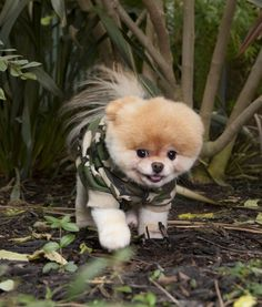 Boo the Pomeranian! He is so effin' cute!