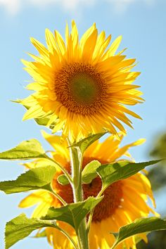 Big and beautiful sunflower