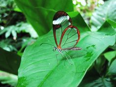 Glasswing Butterfly - Greta Oto