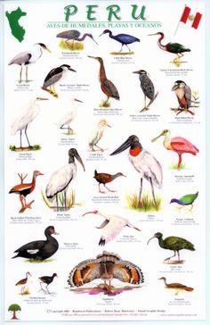Wetlands Birds of Peru Love Birds, Beautiful Birds, Animals Name With Picture, Names Of Birds, Bird Identification, Animals And Pets, Animals Planet, Bird Theme, Creature Concept Art