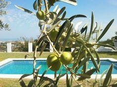 Ramas del olivo con vistas a la piscina Apple, Vegetables, Fruit, Olive Tree, Branches, Pools, Plants, Pintura, Flowers