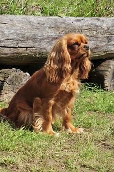 Baby Puppies, Baby Dogs, Pet Dogs, Doggies, King Spaniel, King Charles Spaniel, Cavalier King Charles Dog, Animal Photography, Dog Breeds