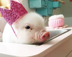 Ny Teacup Piggies - Micro Mini Pigs For Sale, Teacup Pigs, Teacup Pigs For Sale Teacup Pigs For Sale, Mini Pigs For Sale, The Animals, Cute Little Animals, Funny Animals, Farm Animals, Nature Animals, Cute Baby Pigs, Cute Piglets