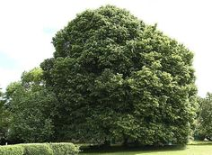 Planter un arbre dans son jardin en fonction de sa silhouette, forme colonnaire, conique, en cépée... et l'entretenir.