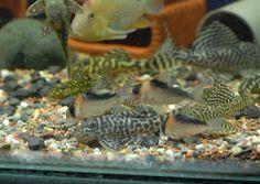 圖檔 Plecostomus, Fish, Pets, Animals, Animales, Animaux, Pisces, Animal, Animais