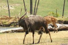 Male and Female Nyala