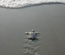 Baby Turtle Making Its Way to the Sea. Love.