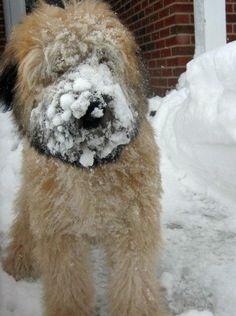 Brogan the Soft Coated Wheaten Terrier