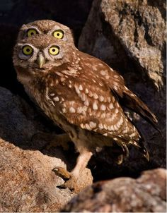 At first glance it looks like this owl has two pairs of eyes… But in fact one of his cheeky pals crept into the shot and peeped over his head – creating the Funny Animal Pictures, Funny Animals, Cute Animals, Wild Animals, Nocturnal Birds, Photo Animaliere, Burrowing Owl, Owl Photos, Beautiful Owl