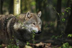 1. Zdjęcie - Fotopułapka potwierdza: wilki wróciły do Puszczy Kampinoskiej!