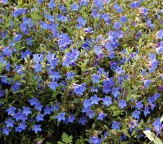 This low, creeping shrublet captivates with its five-pointed, rich blue flowers that flash in the sunshine and seem to generate their own sparkle on dull days in late spring and early summer. Deep green leaves on repeatedly branching stems make a rich background. Look lovely trailing over a low wall in a sunny but humus-rich, moist site. Winner of the Award of Garden Merit from the Royal Horticultural Society.About seven species comprise this small genus in the Borage family, all of which…