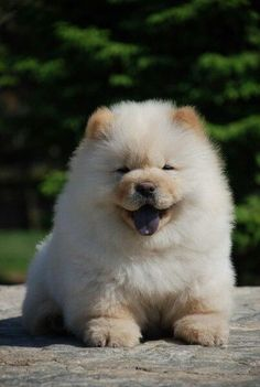 chow chow puppy -- The 15 Most Fluffy And Cute Animals In The World - BlazePress Fluffy Dogs, Fluffy Animals, Cute Baby Animals, Animals And Pets, Cute Dogs And Puppies, I Love Dogs, Doggies, Beautiful Dogs, Animals Beautiful