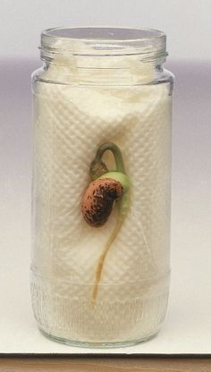 For a plant science activity plant a bean seed in a glass jar. Students can measure the root growth and record in their Interactive Science Journals. Click this picture to see other plant science activities for your classroom. Kid Science, Preschool Science, Teaching Science, Science Activities, Science Experiments, Activities For Kids, Teaching Ideas, Science Week, Plant Science