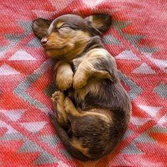 cuteness overload #dachshund