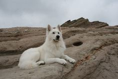 White Swiss Shepherd - www.danceswithwolves.com