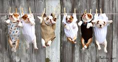 Bulldog puppies ~ hanging the delicates to dry