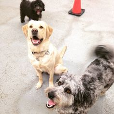 """""""May I have your attention please?"""" Kindergarten teachers raise their hand to get the attention of their students. In doggy daycare, we raise a ball. :)"""