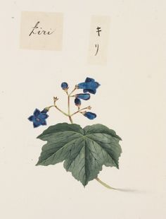 """I am showing Keiga Kawahara drawing in series. Today I show you his great """"botanical art""""/20 pieces. 1. ゼニアオイ Title:tree mallow 学名/Scientific name:Malva..."""
