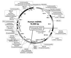 Mitochondrial disease refers to several hundred genetic diseases caused by mutations (or changes) in either mitochondrial DNA or nuclear DNA. These mutations affect the ability for the mitochondria to properly function within a cell. Mitochondria are tiny organelles present in nearly every cell. They are unique in that they have their own DNA, called mitochondrial DNA (mtDNA).  One role of the mitochondria includes making energy, or adenosine triphosphate (ATP), for every cell to function…